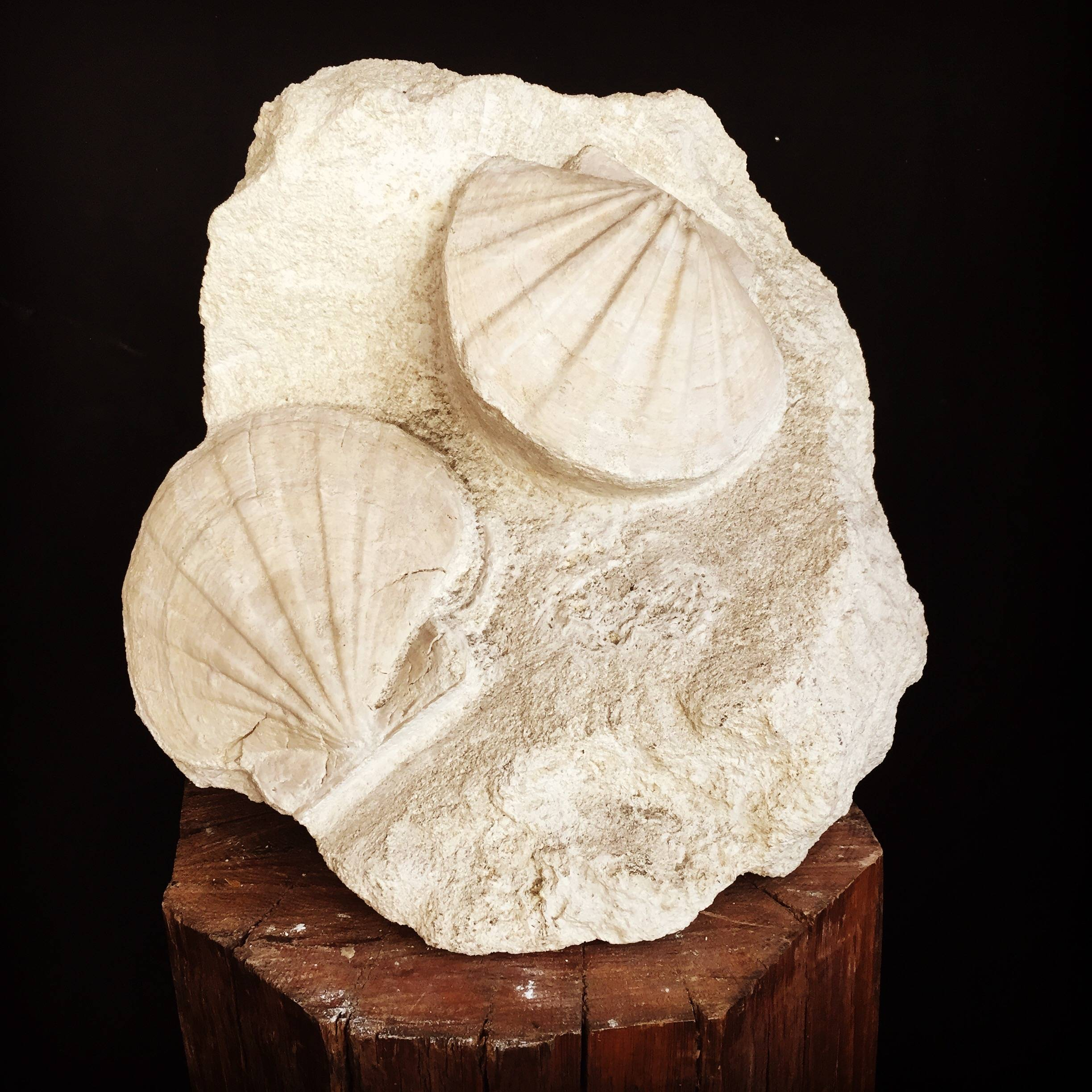 fossile coquille saint Jacques